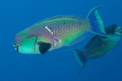 BD-120421-St-Johns-5868-Chlorurus-gibbus-(Rüppell.-1829)-[Heavybeak-parrotfish].jpg
